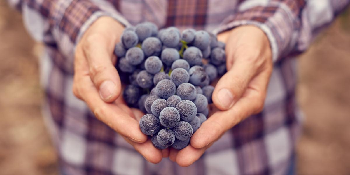 A farmer holding grapes used to make local wine, illustrating the benefits of buying local